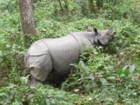 Indian rhino, Chitwan Park, Nepal